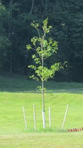 Lambec Red Oak